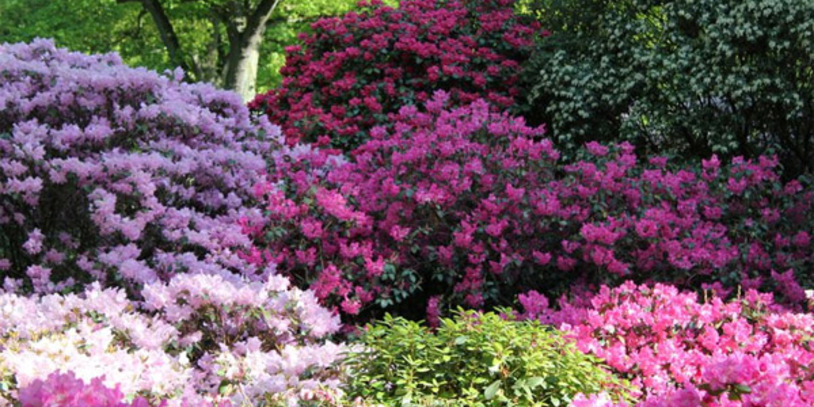 Rhododendron in Blüte