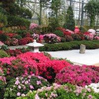 Blühende Azaleen in der botanika.