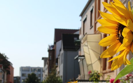 Eine Sonnenblume in einem Vorgarten in einem Straßenzug mit typischen Altbremer Häusern in Gröpelingen