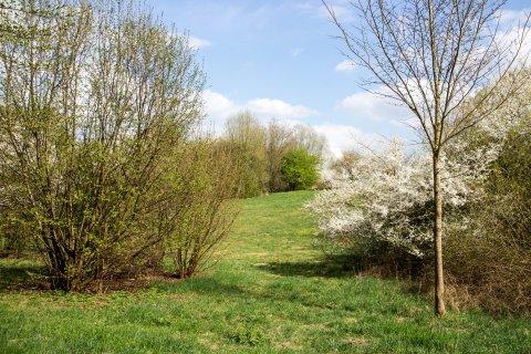 Blick auf eine Grüne Wiese mit Kirschbäumen im Frühling